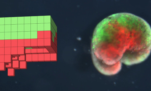 Left: the design discovered for the biobot developed on a supercomputer. Right: the actual physical organism, built completely from biological tissue.